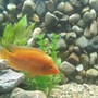 freshwater fish - amphilophus citrinellus - midas cichlid stocking in 90 gallons tank - Midas