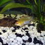 freshwater fish - papiliochromis ramirezi - german gold ram stocking in 55 gallons tank - pic of my larger golden ram..