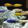 freshwater fish - labidochromis caeruleus - electric yellow cichlid stocking in 100 gallons tank - yellow labs+johanni+blue hap