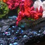 freshwater fish - nandopsis octofasciatum - jack dempsey stocking in 50 gallons tank - jack dempsey and pleco