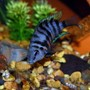 freshwater fish - archocentrus nigrofasciatus - black convict cichlid stocking in 55 gallons tank - Female Black Convict