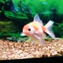 freshwater fish - carassius auratus - pearlscale goldfish stocking in 125 gallons tank - Pugsly my Pearlscale Oranda