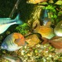 freshwater fish - melanotaenia boesemani - boesemani rainbow stocking in 75 gallons tank - more rainbows