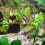 freshwater fish - puntius tetrazona - tiger barb stocking in 45 gallons tank - Tiger Barbs and Rams always want to know whats going on