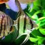 freshwater fish - pterophyllum scalare - zebra angelfish stocking in 60 gallons tank - one of my angel fishs