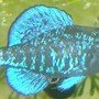 freshwater fish - elassoma gilberti - pygmy sunfish stocking in 75 gallons tank - Elassoma gilberti, the gulf coast pygmy sunfish