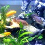 freshwater fish - hemichromis bimaculatus - jewel cichlid stocking in 47 gallons tank - SA&AF Cichlids