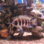 freshwater fish - cyphotilapia frontosa - frontosa cichlid stocking in 75 gallons tank - 7 stripe frontosa