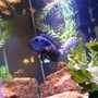 freshwater fish - nandopsis octofasciatum - jack dempsey stocking in 55 gallons tank - Jack Demsey Cichlid