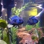 freshwater fish - nandopsis octofasciatum - jack dempsey stocking in 55 gallons tank - Jack Dempsey Cichlid