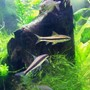 freshwater fish - crossocheilus siamensis - siamese algae eater stocking in 55 gallons tank - Siamese Algae Eaters