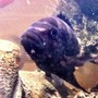 freshwater fish - pseudotropheus crabro - bumblebee cichlid stocking in 46 gallons tank - Bumble Bee