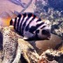 freshwater fish - archocentrus nigrofasciatus - black convict cichlid stocking in 46 gallons tank - Convict