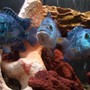 freshwater fish - nandopsis octofasciatum - electric blue jack dempsey stocking in 55 gallons tank - moe, larry and curly. The electric blues