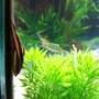 freshwater fish - platyodras armatulus - striped raphael cat stocking in 55 gallons tank - stripped ralph and ghost