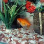 freshwater fish - carassius auratus - red ryukin goldfish stocking in 40 gallons tank - gold fish