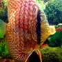 freshwater fish - symphysodon aequifasciata - green discus stocking in 55 gallons tank