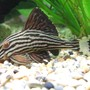 freshwater fish - panaque nigrolineatus - gold royal pleco (l-027) - Royal plec