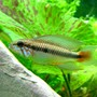 freshwater fish - apistogramma sp. - assorted apistogramma stocking in 46 gallons tank - Apistogramma - male