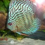 freshwater fish - symphysodon spp. - red turquoise discus stocking in 55 gallons tank - Turquise Discus