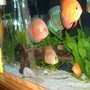 freshwater fish - symphysodon spp. - discus stocking in 55 gallons tank - Discus Pictures