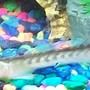 freshwater fish - gobioides broussonnetii - prehistoric dragon goby stocking in 10 gallons tank - My Violet Goby