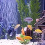 freshwater fish - labidochromis caeruleus - electric yellow cichlid stocking in 55 gallons tank - African Cichlids