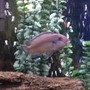 freshwater fish - maylandia callainos - blue cobalt cichlid stocking in 30 gallons tank