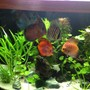 freshwater fish - symphysodon aequifasciata - green discus stocking in 49 gallons tank - My Fish