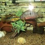freshwater fish - thorichthys meeki - firemouth cichlid stocking in 75 gallons tank - Salvini & Firemouth.. head to head.. fighting
