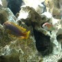 freshwater fish - iodotropheus sprengerae - rusty cichlid stocking in 55 gallons tank - Trio 5