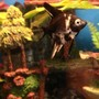 freshwater fish - pterophyllum sp. - marble veil angel stocking in 50 gallons tank - New marble angel fish