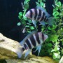freshwater fish - cyphotilapia frontosa - frontosa cichlid stocking in 140 gallons tank - My frontosa.