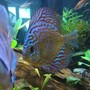 freshwater fish - symphysodon sp. - snakeskin discus stocking in 130 gallons tank - Big blue