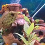 freshwater fish stocking in 100 gallons tank - My spotted African leaf fish