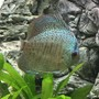 freshwater fish stocking in 55 gallons tank - Medium Blue Snakeskin Discus
