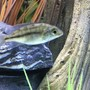 freshwater fish stocking in 45 gallons tank - Juvenile Super Red Empress 1-6-17