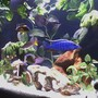 freshwater fish - sciaenochromis ahli - electric blue cichlid stocking in 46 gallons tank - African Cichlids