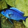 freshwater fish - sciaenochromis fryeri - electric blue hap stocking in 55 gallons tank - Hap. Ahli