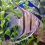 freshwater fish - pterophyllum scalare - assorted veil angel stocking in 50 gallons tank - angelfish