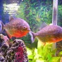 "freshwater fish - pygocentrus nattereri - redbellied pirhana stocking in 55 gallons tank - two 6"" red belly peranah"