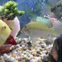 freshwater fish - geophagus jurupari - demon fish stocking in 175 gallons tank - geo jurapari gold sevrum jack dempsey
