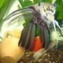 freshwater fish - pterophyllum scalare - assorted veil angel stocking in 70 gallons tank - angel