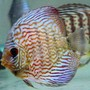 freshwater fish - symphysodon spp. - snakeskin discus stocking in 60 gallons tank - One of the New Snakeskin