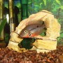 freshwater fish - thorichthys meeki - firemouth cichlid stocking in 125 gallons tank - firemouth cichlid
