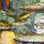 freshwater fish - pseudotropheus crabro - bumblebee cichlid stocking in 55 gallons tank - Two bumblebees my ice blue an male kenyis tale hanging out