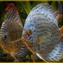 freshwater fish - symphysodon aequifasciata - royal blue discus stocking in 180 gallons tank - Two Red and Blue Discus who seemed to have buddied up.