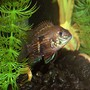 freshwater fish - aequidens rivulatus - green terror stocking in 55 gallons tank - My name is Grouch Im a Green Terror Cichlid. Im small and I hate to be picked on so watch your back buddy cause someday I will get much bigger and then WHAMMO!