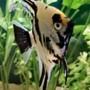 freshwater fish - pterophyllum sp. - koi angel stocking in 40 gallons tank - My angel fish. I have had him for 3 years.