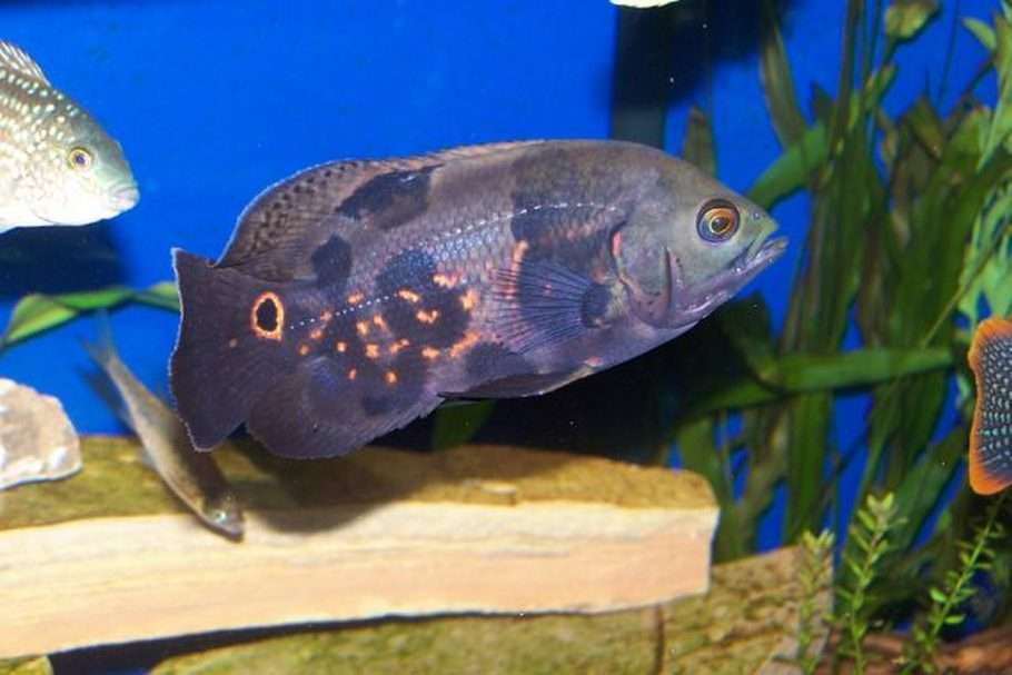 aquascaping tips to reduce aggression in fish ratemyfishtank com